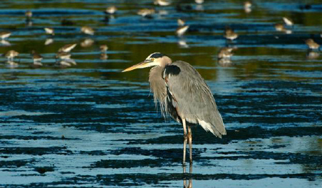 Great blue heron from rr