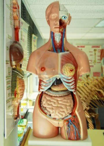 14683491-human-anatomy-model-in-a-biology-class