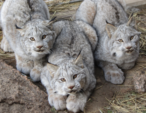 Canadian lynxes