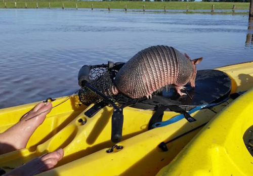 Armadillo_in_flood_2016-04-25
