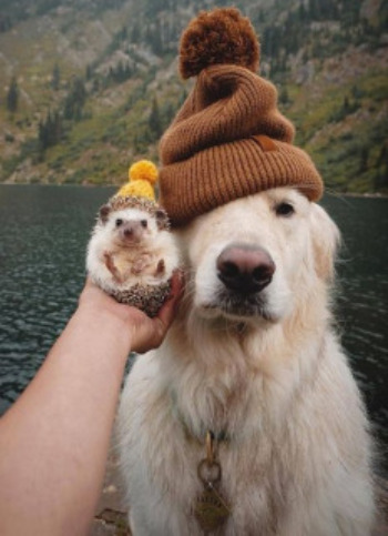 Hedgehog and dog