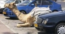 Camel_parking_lot