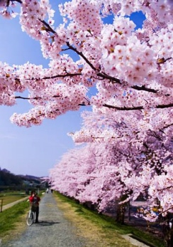 Cherry_blossoms_001