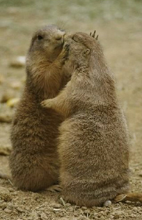 Gophers_kissing_2